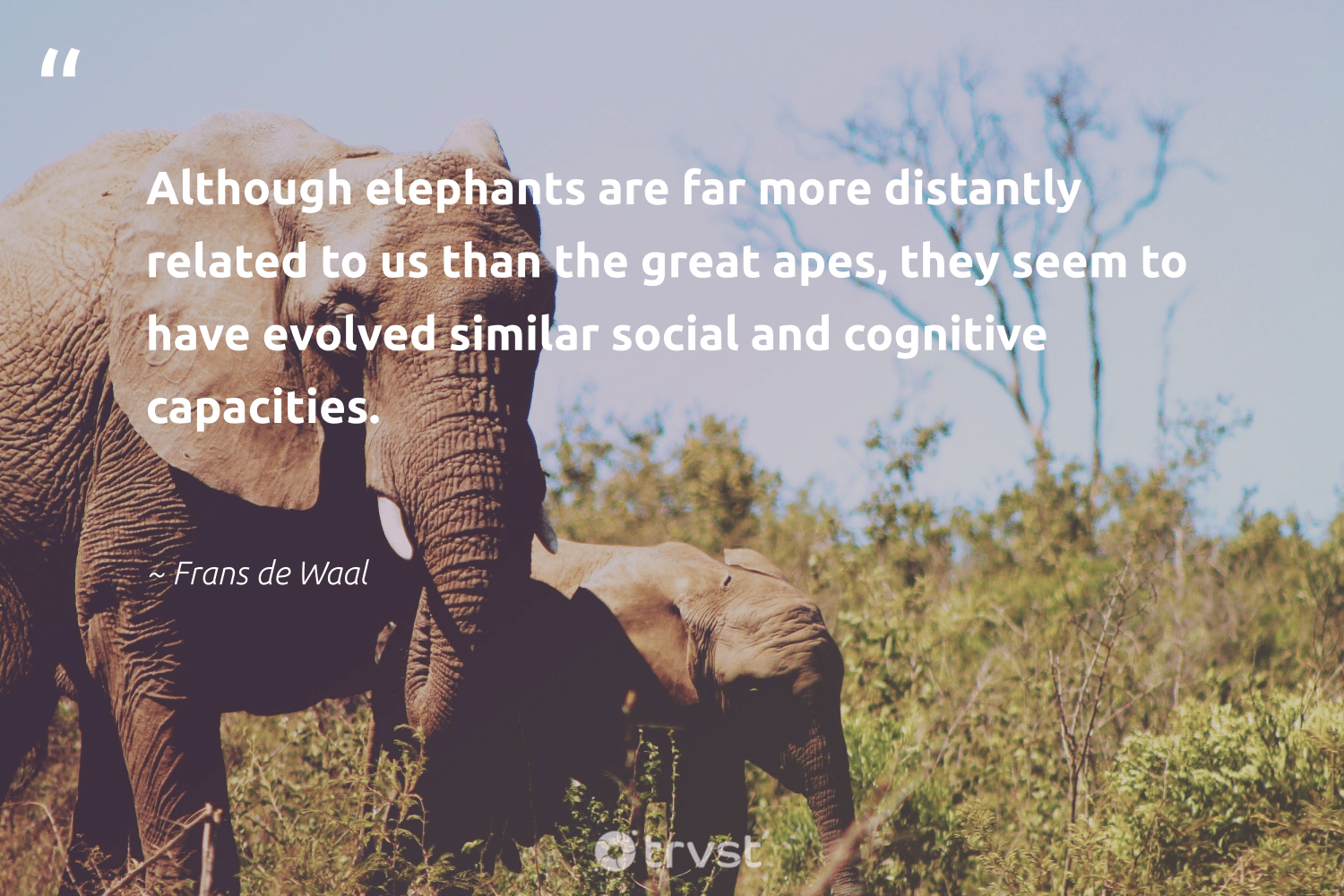 """""""Although elephants are far more distantly related to us than the great apes, they seem to have evolved similar social and cognitive capacities.""""  - Frans de Waal #trvst #quotes #elephants #naturelovers #socialchange #mammals #beinspired #endangered #collectiveaction #endangeredspecies #thinkgreen #elephantlove"""