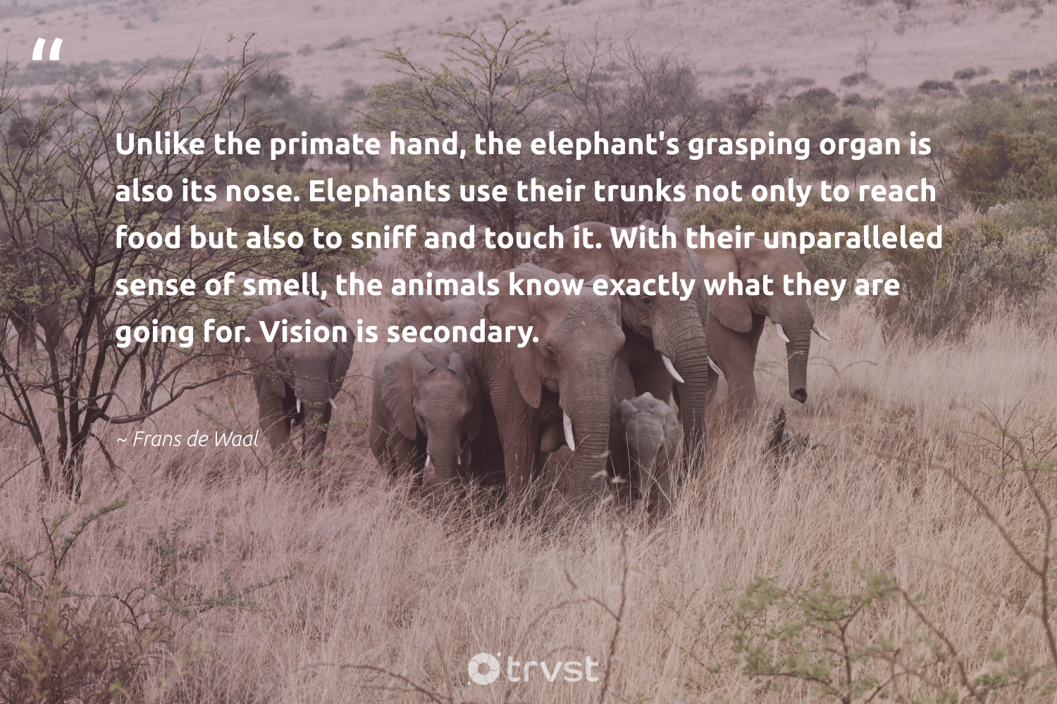 """""""Unlike the primate hand, the elephant's grasping organ is also its nose. Elephants use their trunks not only to reach food but also to sniff and touch it. With their unparalleled sense of smell, the animals know exactly what they are going for. Vision is secondary.""""  - Frans de Waal #trvst #quotes #animals #food #elephants #animal #naturelovers #nature #bethechange #animallovers #savetheelephants #geology"""