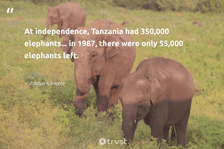 """At independence, Tanzania had 350,000 elephants... in 1987, there were only 55,000 elephants left.""  - Jakaya Kikwete #trvst #quotes #elephants #wildlife #ecoconscious #elephantlover #impact #conservation #bethechange #elephantlove #thinkgreen #endangered"