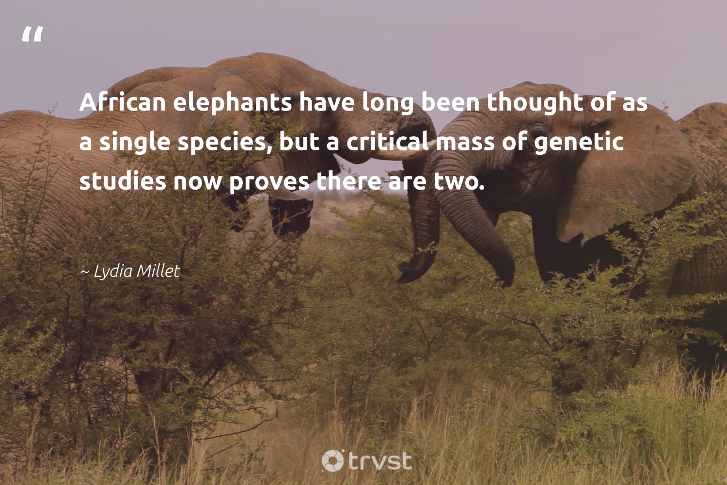 """""""African elephants have long been thought of as a single species, but a critical mass of genetic studies now proves there are two.""""  - Lydia Millet #trvst #quotes #elephants #naturelovers #changetheworld #elephant #gogreen #conservation #takeaction #wildanimals #bethechange #endangeredspecies"""