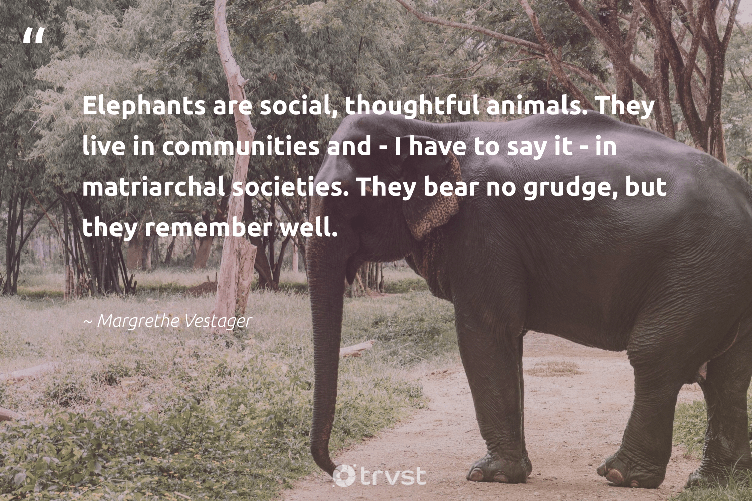 """""""Elephants are social, thoughtful animals. They live in communities and - I have to say it - in matriarchal societies. They bear no grudge, but they remember well.""""  - Margrethe Vestager #trvst #quotes #animals #communities #elephants #wildlife #wildgeography #forscience #bethechange #animallovers #elephantlove #nature"""