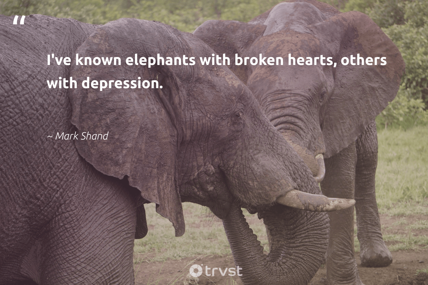 """""""I've known elephants with broken hearts, others with depression.""""  - Mark Shand #trvst #quotes #depression #elephants #anxiety #endangered #begreat #socialchange #mentalhealthmatters #elephantlove #mindset #takeaction"""