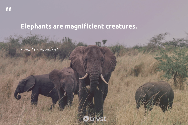 """Elephants are magnificient creatures.""  - Paul Craig Roberts #trvst #quotes #elephants #elephantlove #takeaction #elephant #thinkgreen #savetheelephants #changetheworld #endangeredspecies #socialchange #explore"