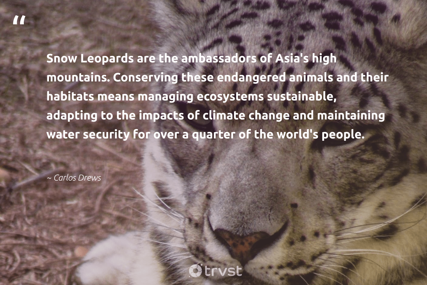 """""""Snow Leopards are the ambassadors of Asia's high mountains. Conserving these endangered animals and their habitats means managing ecosystems sustainable, adapting to the impacts of climate change and maintaining water security for over a quarter of the world's people.""""  - Carlos Drews #trvst #quotes #sustainable #climatechange #water #mountains #snow #animals #endangered #climate #impacts #leopards"""