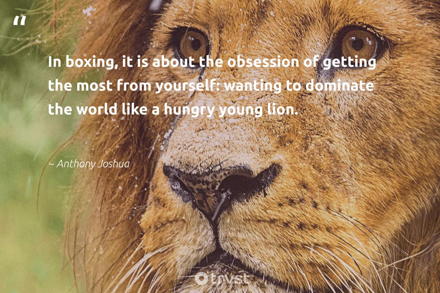 """""""In boxing, it is about the obsession of getting the most from yourself: wanting to dominate the world like a hungry young lion.""""  - Anthony Joshua #trvst #quotes #hungry #lion #hunger #majesticwildlife #makeadifference #socialimpact #food #wildlifeprotection #equalopportunity #thinkgreen"""