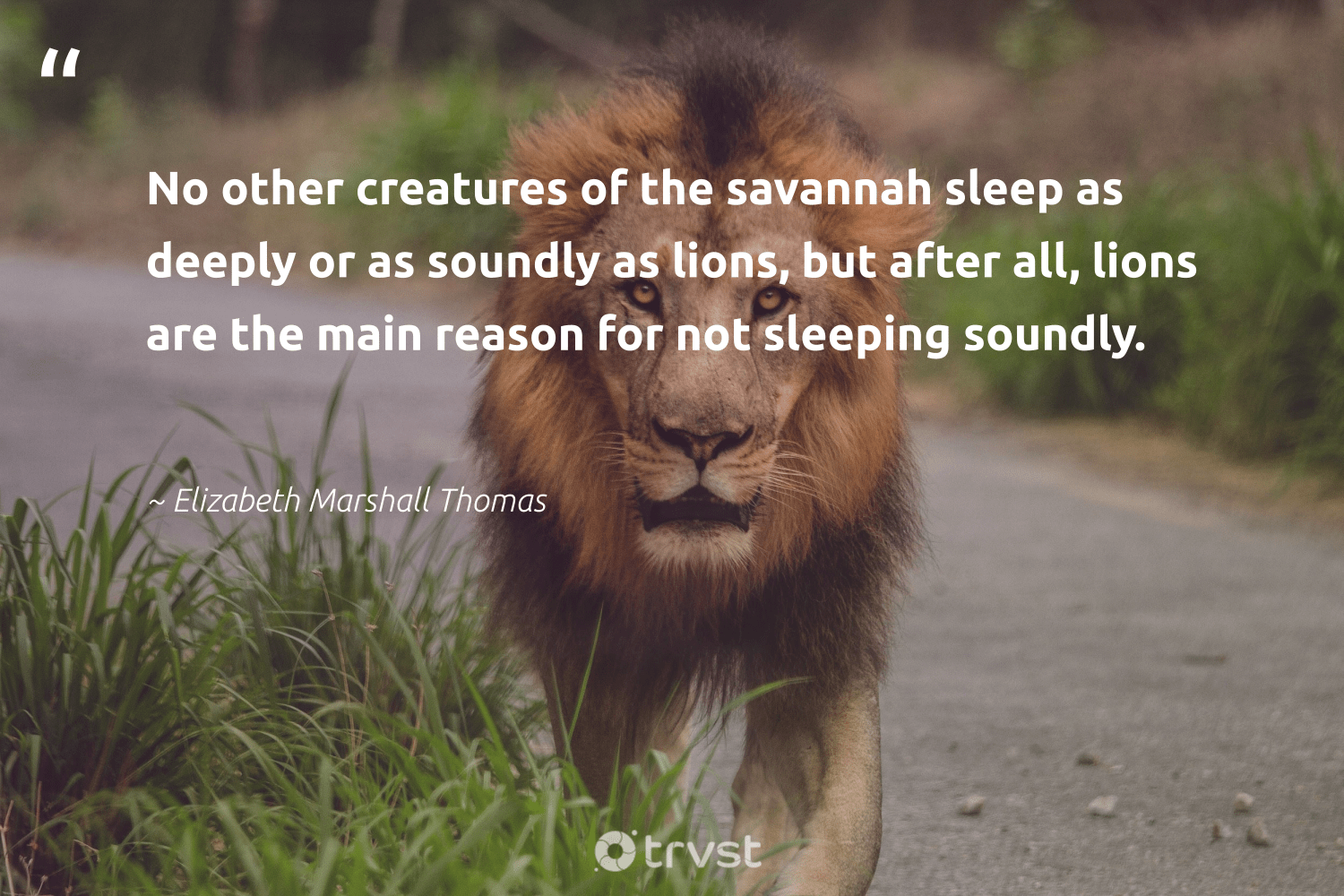 """""""No other creatures of the savannah sleep as deeply or as soundly as lions, but after all, lions are the main reason for not sleeping soundly.""""  - Elizabeth Marshall Thomas #trvst #quotes #lions #wildlife #socialchange #lion #socialimpact #majesticwildlife #takeaction #nature #gogreen #wild"""