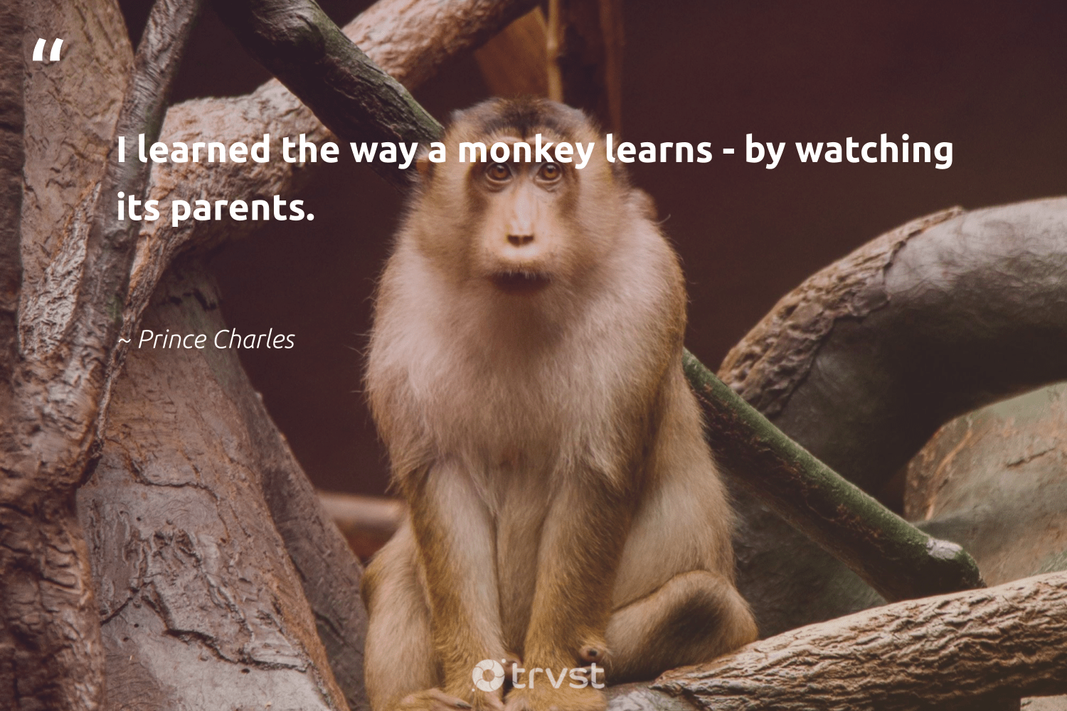 """I learned the way a monkey learns - by watching its parents.""  - Prince Charles #trvst #quotes #monkey #sustainability #dotherightthing #majesticwildlife #socialchange #monkeys #changetheworld #splendidanimals #beinspired #conservation"