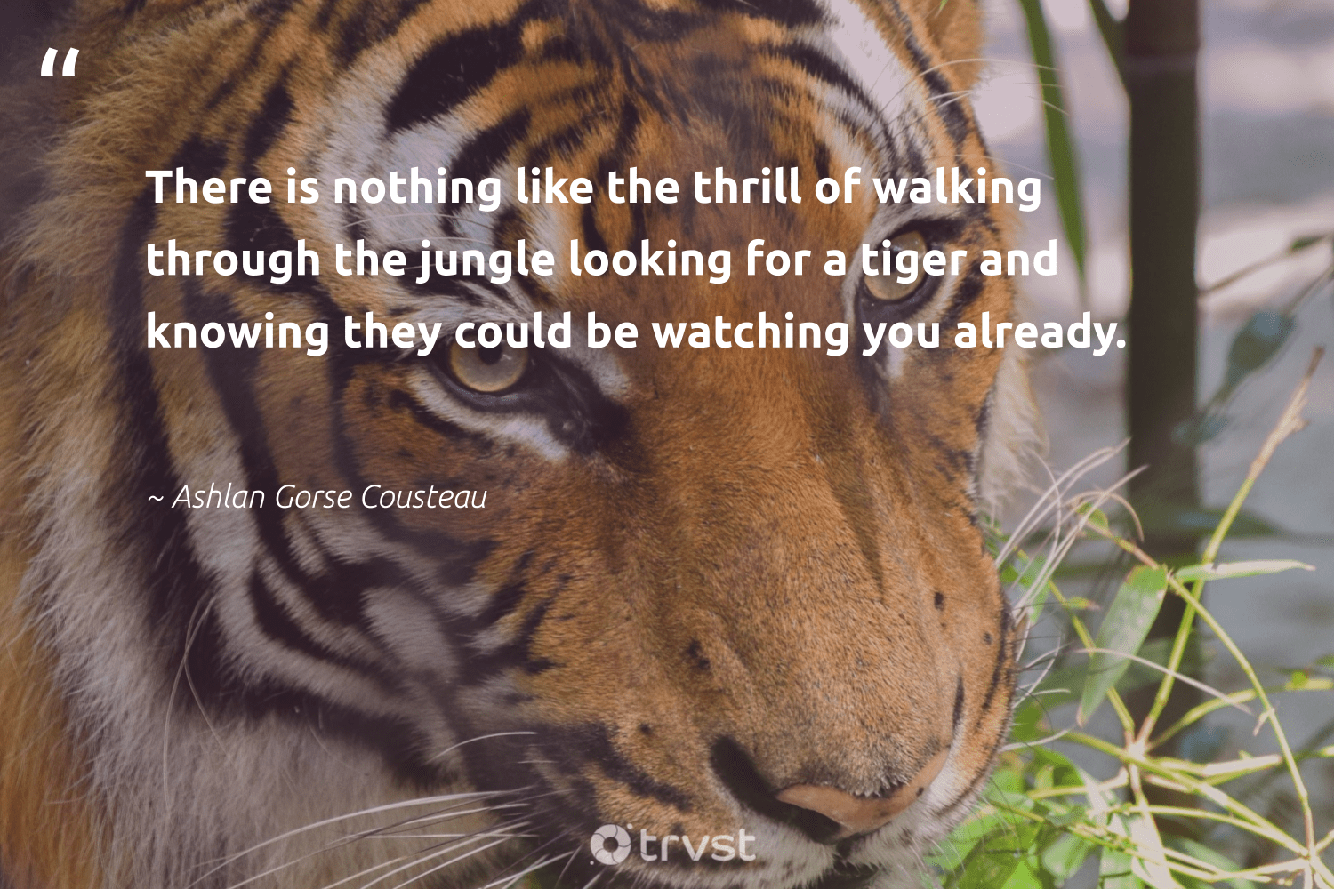 """There is nothing like the thrill of walking through the jungle looking for a tiger and knowing they could be watching you already.""  - Ashlan Gorse Cousteau #trvst #quotes #tiger #splendidanimals #dotherightthing #majesticwildlife #beinspired #perfectnature #dogood #wild #bethechange #animalphotography"