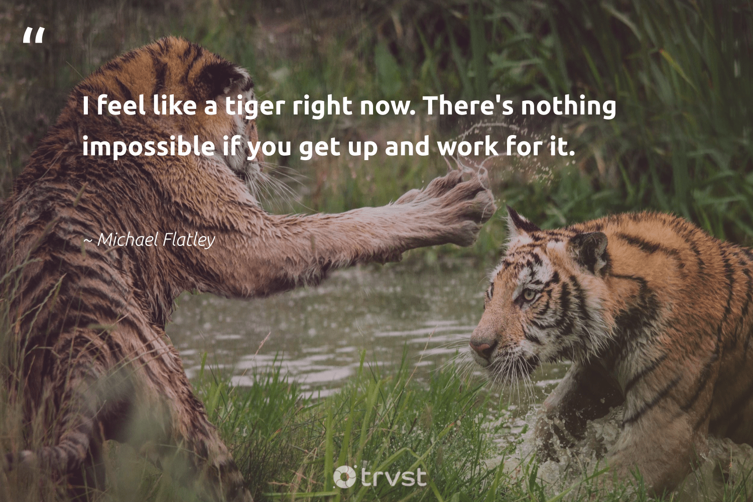 """I feel like a tiger right now. There's nothing impossible if you get up and work for it.""  - Michael Flatley #trvst #quotes #tiger #tigers #dogood #ourplanetdaily #ecoconscious #conservation #gogreen #wildlifeprotection #beinspired #wild"