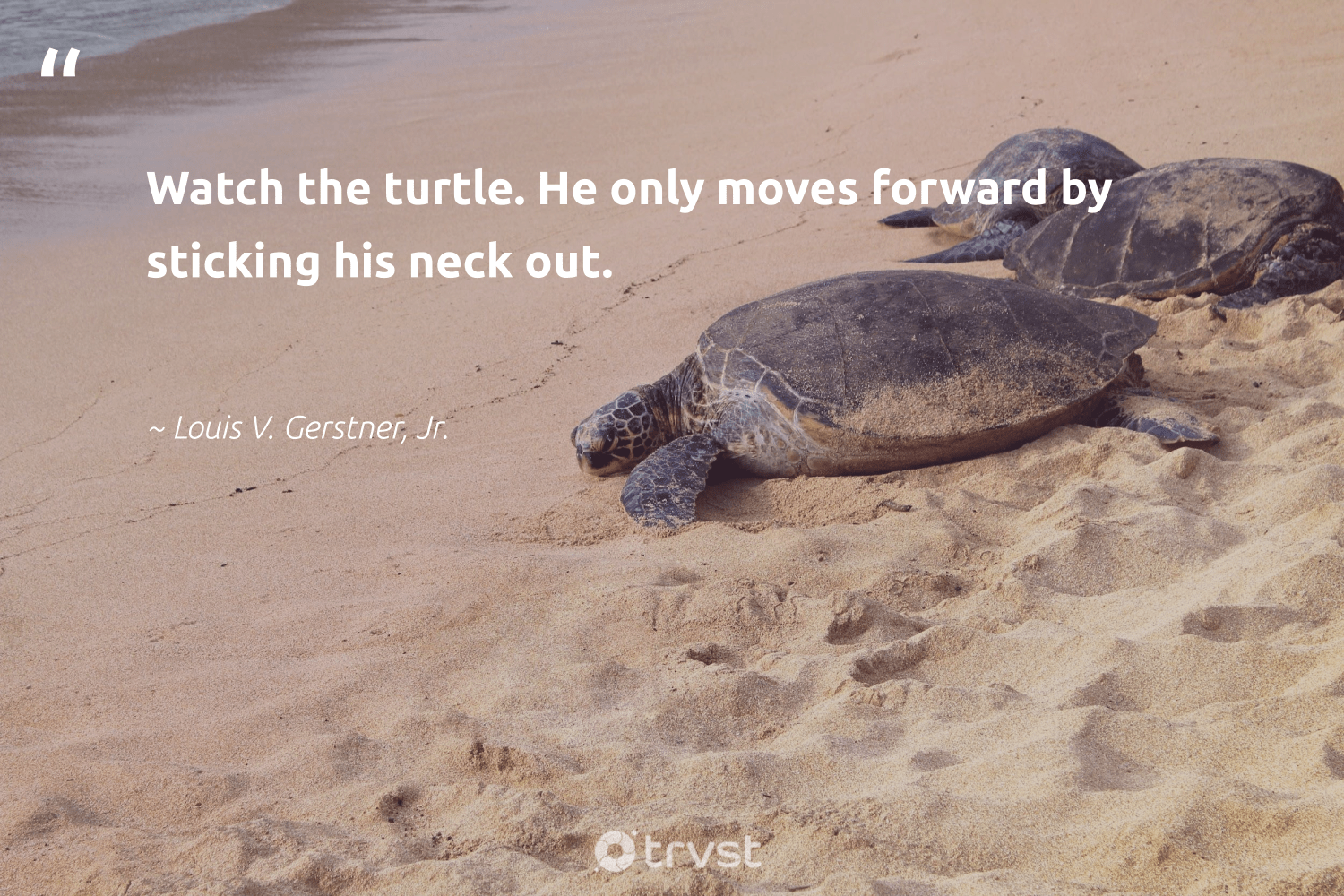 """Watch the turtle. He only moves forward by sticking his neck out.""  - Louis V. Gerstner, Jr. #trvst #quotes #turtle #savetheturtle #changetheworld #marinelife #planetearthfirst #wildlifeprotection #gogreen #perfectnature #collectiveaction #sustainability"