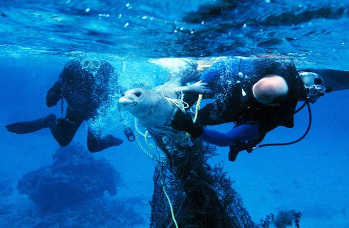 Divers free a seal from a plastic fishing net