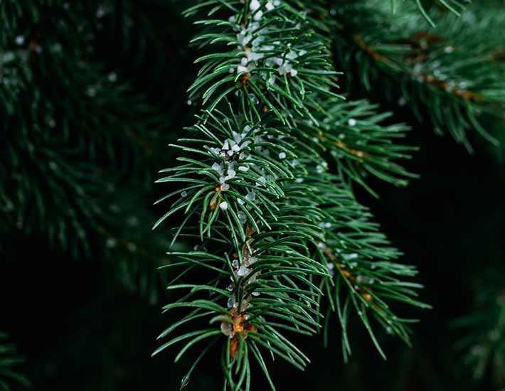 Real christmas tree plastic free