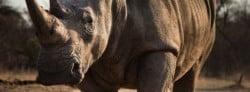 Rhinoceros Quotes