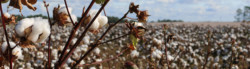 Environmental Impacts of Cotton